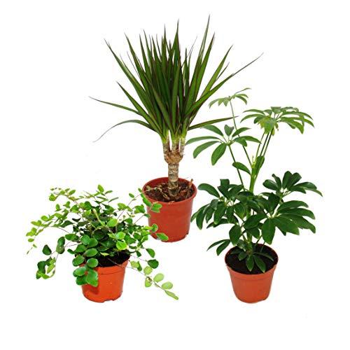Exotenherz - Zimmerpflanzen Set mit 3 Pflanzen - Typ 2-9cm