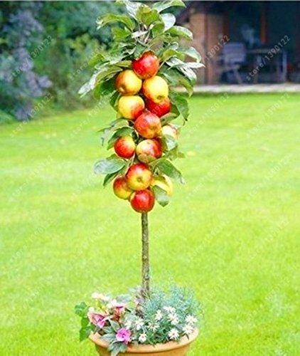 50 Pcs Bonsai Gragon Fruits Graines nain arbres fruitiers Bonsai Organique Légumes NEUF