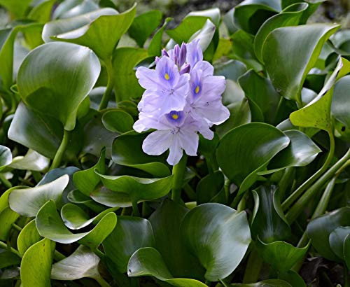 Water Hyacinth Floating Pond Plant - Pond Flower - Koi Pond Plants (8) (Read Description! WE CAN NOT Ship to Some States)