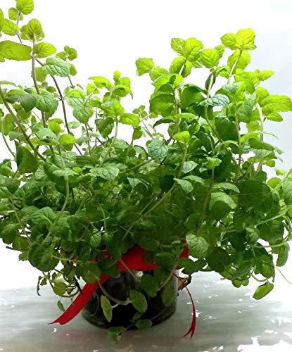 家庭用 ハーブの水耕栽培キット 窓際族(窓辺でペパーミント)