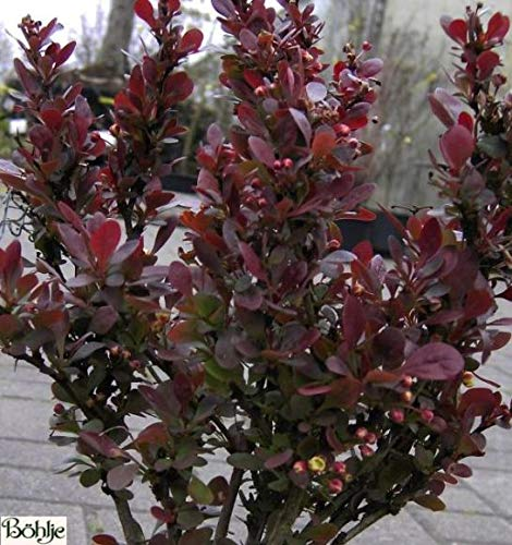 Berberis thunbergii Atropurpurea Nana - Rote Zwergberberitze -