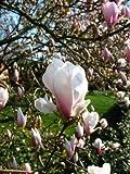 rosa weiß blühende Tulpenmagnolie Magnolia soulangiana 60-80 cm hoch im 5 Liter Pflanzcontainer