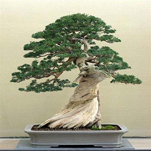50 Juniper Bonsai Tree Seeds Potted Office purify The air Absorb Harmful Gases