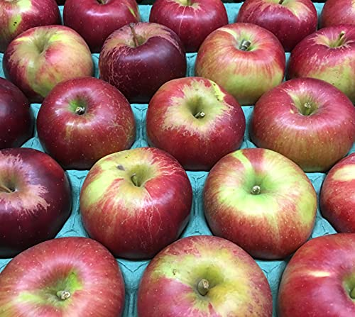 長野県産 生産農家直送 訳ありりんご 「紅玉(こうぎょく)」ご家庭向き中小玉サイズ 28〜50玉 約9〜9.5kg/箱 販売時期は9月下旬〜10月下旬頃まで 「クッキングアップルの代表格!」(酸っぱいリンゴの好きな方は生食もOKです)