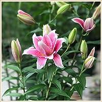 ユリの球根,花は明るくエレガントな花で満開で美しく、花束は素晴らしいです-1,6球根