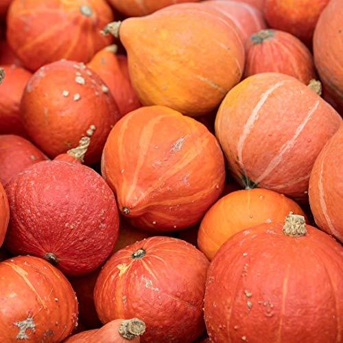Samen für ca. 10 Pflanzen Uschiki Kuri Hokkaido-Kürbis - beliebter Speisekürbis