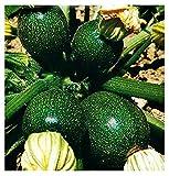 semi zucchino tondo di piacenza - cucurbita pepo - semi agricoli - zucchine tonde - 50 sementi circa