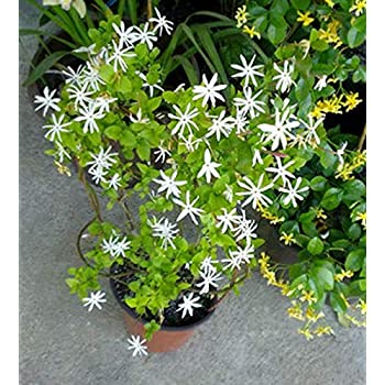 Plants Point All Season Live Juhi Jasminum Auriculatum Flower Plant With Super Fragrance Amazon In Garden Outdoors