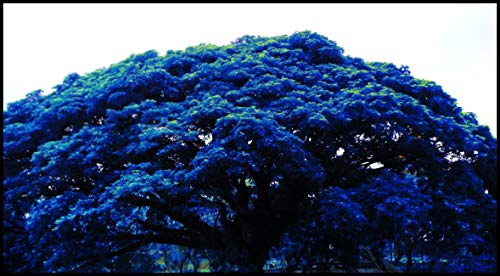 japonais bleu foncé Érable Graines Bonsaï Graines, 20 graines/Pack, Plante en pot pour la maison et le jardin