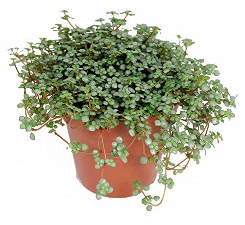Pilea Glauca, Zimmerpflanze im 10,5cm Topf, Kanonierblume, Höhe ca. 5cm