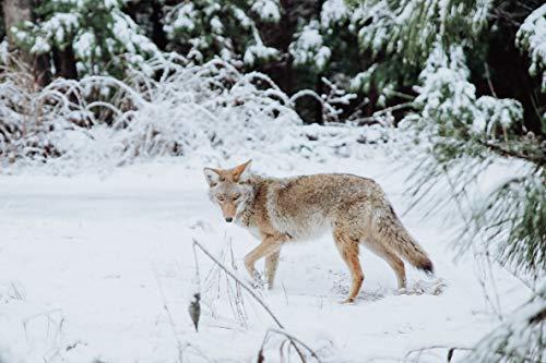 Product Image 5: iHunt Predator Decoy & Caller – EDIHWAG – Electronic Coyote Call – Predator Decoy – Jack Decoy – Electronic Game Call