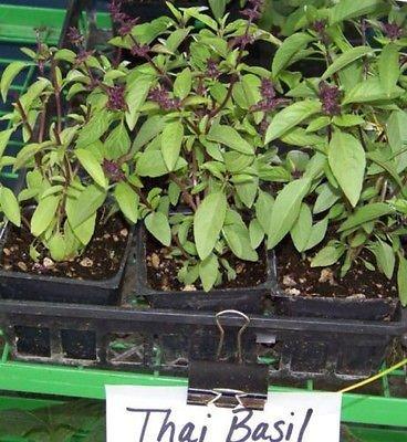 basilic, THAI SPICEY BASILIC, jardin d'herbes aromatiques pesto frais, 80 graines!