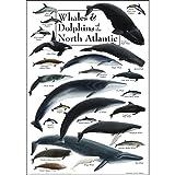 Poster mit Walen und Delfinen des Nordatlantiks, 48,3 x