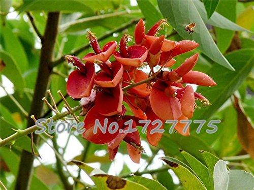 semences réel! 50pcs / lot Erythrina Crista Galli, les graines de arbustifs brésiliennes belle plante bonsaï fleurs bricolage maison jardin