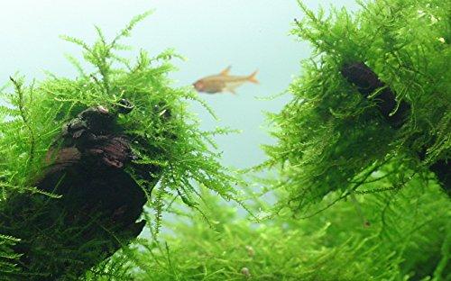 Tropica Aquarium Pflanze Javamoos Moos Taxiphyllum barbieri Nr.003TC in Vitro 1-2 Grow Wasserpflanzen Aquariumpflanzen