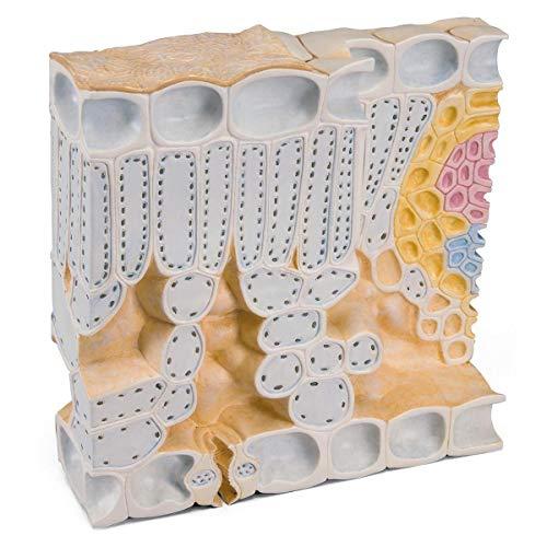 Blattquerschnitt der Rotbuche (Fagus sylvatica), Modell
