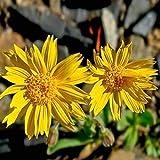 Frische 200 Samen - Arnica Montana Kräutersamen