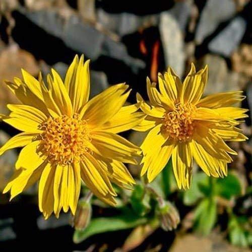200 graines fraîches - Arnica Montana Herb Seeds