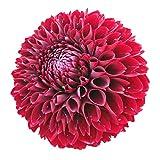 B/H mélange Fleurs graines,Plantes ornementales,Plantes ornementales,Graines de Dahlia-D_500g,mélange Fleurs graines