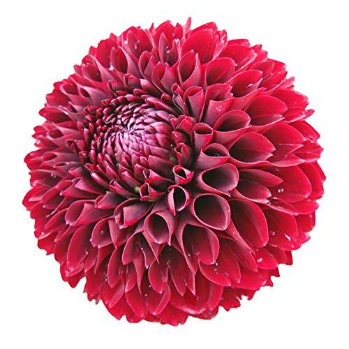 B/H semences vivaces,arôme épanoui graines,arôme épanoui graines,Graines de Dahlia-G_250g,semences vivaces