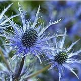 Qulista Samenhaus - Raritäten stahlblau Garten-Edeldistel 'Eryngium planum', Blumensamen mehrjährig winterhart für Bienenweide Steingarten