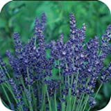 PAPCOOL Most Frạgrant Perennial Lavender Flówer SẸẸDS Perennial Flówers Sẹed for Plạnting