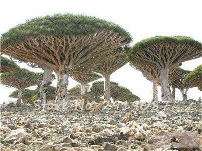 Livraison gratuite 10 Pcs rares Dracaena arbre alpiste Tree Island Sang (Dracaena draco) voyantes, Jardin des plantes exotiques 3 Diy