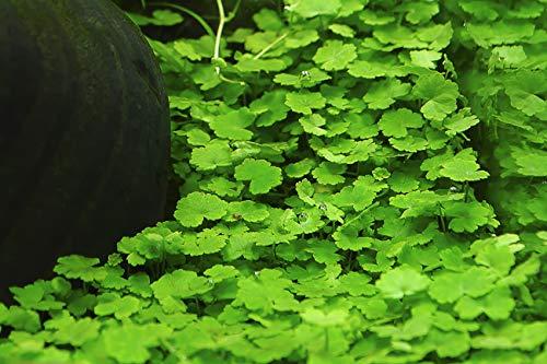 Kleinblättriger Wassernabel / Hydrocotyle Sibthorpioides - 1 Bund - Aquarium-Pflanze