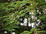 Asklepios-seeds® - 30 Semi di Acacia drummondii