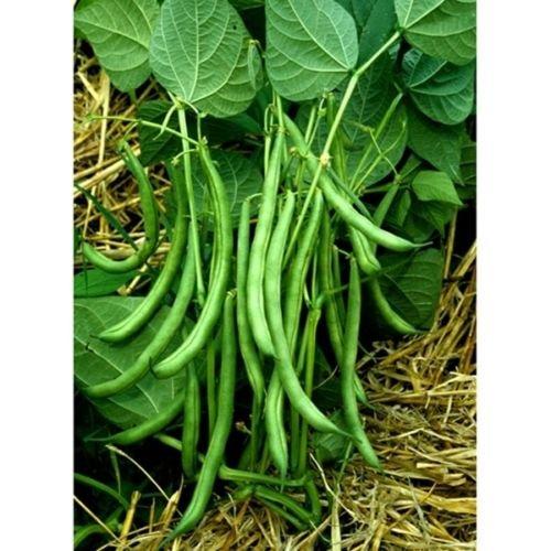100+ non-OGM New Blue Pole Green Lake FM1 Bean Seeds