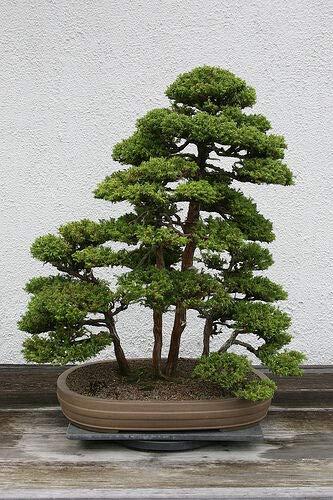 Japanese Red Cedar, Cryptomeria Japonica, Tree 50 ct (AA) (Fast, Bonsai), Tree, Flower, Fruit