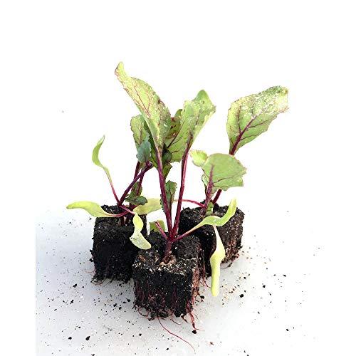 Gemüsepflanzen - Rote Beete / Rübe, Rande - Beta vulgaris - 6 Pflanzen