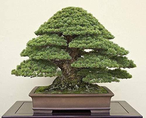 UEYR Semillas Bonsai Japanese Pine - Negro más de 20 Semillas para Cultivar - Debe Tener Bonsai espécimen