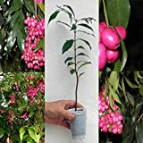 Eugenia Myrtifolia / Syzygium paniculatum magenta lilly pilly ciliegia / 20 cm Vendiamo semi non solo la pianta. Il prezzo include funzioni customes Seeds è il pacchetto completo. Trasporto che a livello internazionale
