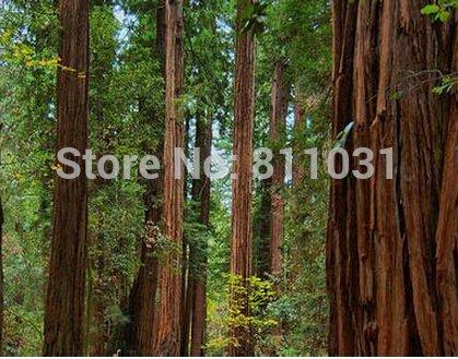 grande de la promoción 20 de la secoya gigante Semillas, Sequoia bonsai, rara, de crecimiento rápido, la variedad completan la tasa del 95% en ciernes