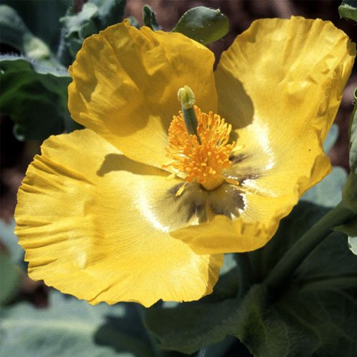 Plant World Seeds - Glaucium Flavum Seeds