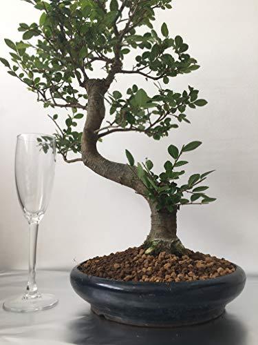 20 Jahre, 50 cm hoch. Bonsai-Baum Chinesische Ulme in 22 cm blauer Keramik runder Topf