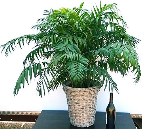 CHAMADOREA ELEGANCE XXL - Palma peruana de cesta de mimbre, planta auténtica