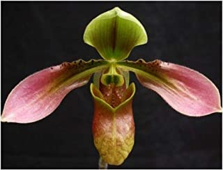 Paphiopedilum appletonianum - Lady Slipper Orchid - 100 seeds