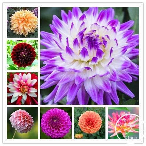 Kalash New 100pcs Dahlia Blumensamen für Garten Mixed