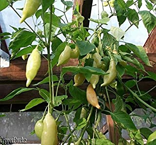 25+ Organic Sugar Rush Peach Premium Pepper Seeds-d 107