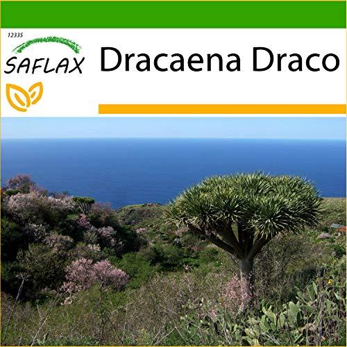 SAFLAX - Drago de Canarias - 5 semillas - Con sustrato estéril para cultivo - Dracaena Draco