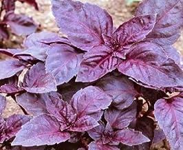 100 semillas de albahaca púrpura Un albahaca dulce que es ideal para cocinar
