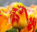 Todos los tipos de bulbos de tulipanes hermosas flores de jardín son adecuados para las plantas en maceta (no es una semilla de tulipán) 2PC Bulbos 10