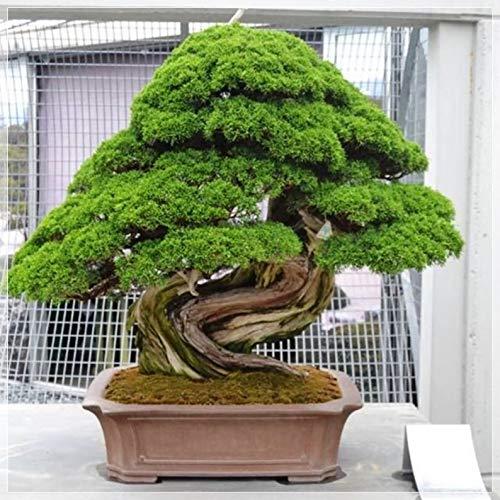 10 PCS Japanese Cedar Tree PCS, Cryptomeria Japonica Bonsai map-le, Herloom A109