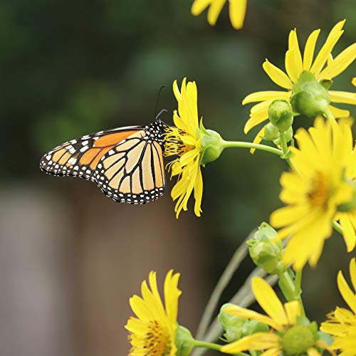 Outsidepride Silphium Cup Plant - 200 Seeds
