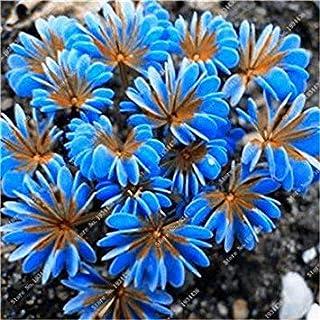 . 100 Pcs Exotiques rares Oxalis Arc-Oxalis Fleur, Oxalis Pourpre Trèfle Vivace Fleur Jardin extérieur: 14