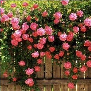 50 graines / Paquet Rose fleur graines de semis rose plantes balcon plantes bonsaï graines de fleurs rose graines