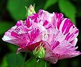 Rosa gallica 'Versicolor', Historische Strauchrose in A-Qualität Wurzelware