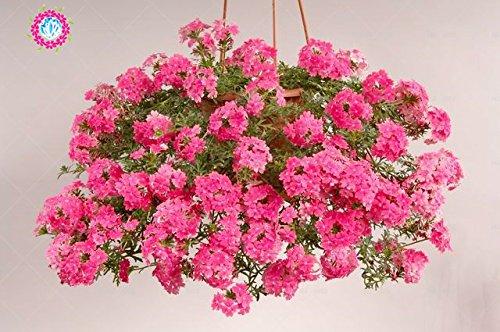 graines 100pcs Verveine seeds.Verbena HORTENSIS, graines de bonsaï rares fleurs Hanging plantes balcon intérieur fleurs pour le jardin de la maison 3